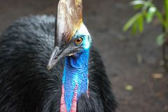 Southern cassowary, Casuarius casuarius, also known as double-wattled cassowary, Australian big forest bird, detail hidden portrai. T from dark tropic forest Stock Photos