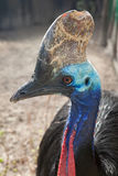 Southern cassowary Casuarius casuarius. Also known as the double-wattled cassowary Stock Photo