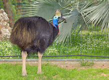 Southern Cassowary (Casuarius casuarius) flightless bird Royalty Free Stock Photo