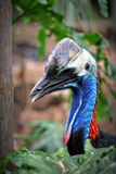 Southern Cassowary IMG_0058. Large blue Southern Cassowary bird which is native to Australia.  Image is profile view, head and neck.  Background is blurred tree Royalty Free Stock Image