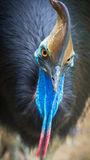 Southern Cassowary in Kuranda, Queensland - bird`s eye view. An endangered Southern Cassowary at Birdworld in Kuranda, Queensland royalty free stock image