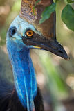 Southern Cassowary Portrait Royalty Free Stock Images