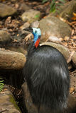 Southern Cassowary Stock Image