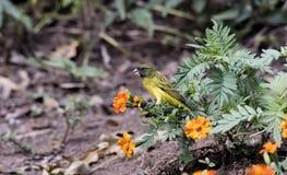 Southern Citril Crithagra hyposticta in a Garden. In Northern Tanzania stock photos