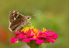 Southern Cloudywing butterfly Stock Photo