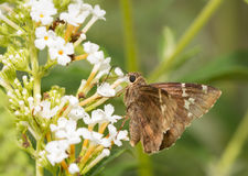 Southern Cloudywing butterfly Royalty Free Stock Image