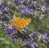 Southern Comma Stock Photo