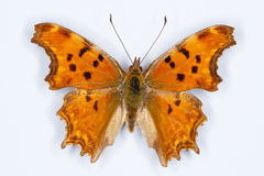 Southern Comma butterfly, Polygonia egea Royalty Free Stock Photography