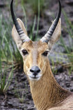 Southern ( Common ) Reedbuck Royalty Free Stock Photography