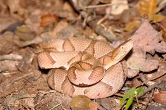 Southern Copperhead Stock Photos