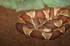 Southern copperhead Stock Photo