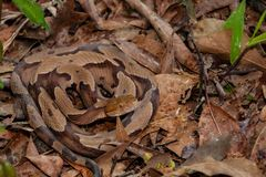 Southern Copperhead Snake. A Copperhead snake basking in the leaf litter hiding in natural habitat royalty free stock photography