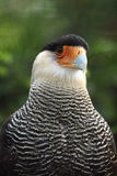 Southern crested caracara Royalty Free Stock Photography