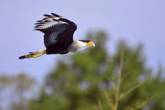 Southern Crested Caracara in flight Stock Photo