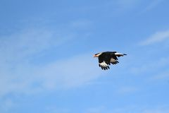 Southern crested caracara Stock Photo
