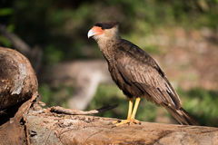 Southern crested caracara on log in sunshine Royalty Free Stock Photo
