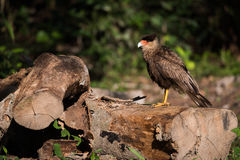Southern crested caracara perched on sawn logs Stock Photography