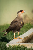 Southern crested caracara perched beside water trough Stock Photos