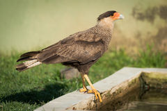 Southern crested caracara perched by water trough Stock Image