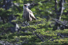 Southern Crested Caracara Stock Images