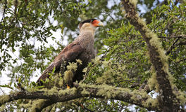 Southern crested caracara at Villarrica N.P. - Chile Stock Photos