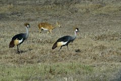 Southern Crowned-Crane Balearica regulorum, Gorongosa National Park, Mozambique Royalty Free Stock Photography