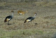 Southern Crowned-Crane Balearica regulorum, Gorongosa National Park, Mozambique Royalty Free Stock Photography