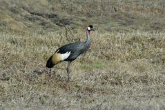 Southern Crowned-Crane Balearica regulorum, Gorongosa National Park, Mozambique Stock Photo
