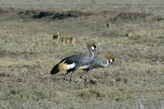 Southern Crowned-Crane Balearica regulorum, Gorongosa National Park, Mozambique Royalty Free Stock Images