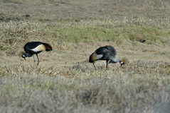 Southern Crowned-Crane Balearica regulorum, Gorongosa National Park, Mozambique Stock Images