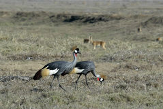 Southern Crowned-Crane Balearica regulorum, Gorongosa National Park, Mozambique Royalty Free Stock Photo