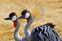 Southern Crowned Cranes Royalty Free Stock Images