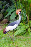Southern Crowned Grey Crane Stock Photo