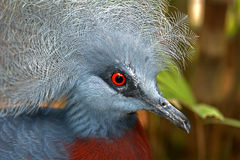 Southern crowned pigeon Royalty Free Stock Photos