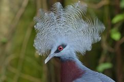 Southern Crowned Pigeon Royalty Free Stock Photography