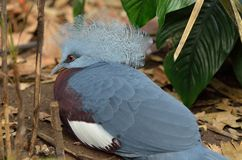 Southern Crowned Pigeon Stock Photo