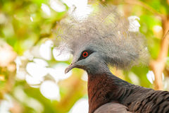Southern crowned-pigeon, Goura scheepmakeri, single captive Stock Images