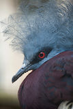 Southern crowned pigeon (Goura scheepmakeri sclateri). Royalty Free Stock Photo
