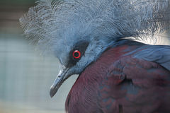 Southern crowned pigeon (Goura scheepmakeri sclateri). Royalty Free Stock Photography