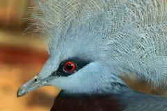 Southern crowned pigeon (Goura scheepmakeri). Stock Photos