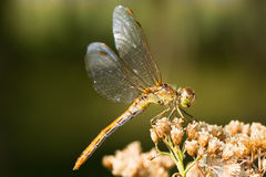 Southern Darter Dragonfly (female)  - Stock Photos