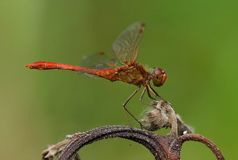 Southern Darter (Sympetrum meridionale) Stock Photography
