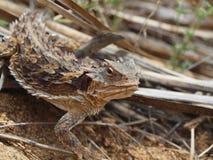Southern Desert Horned Lizard Stock Image