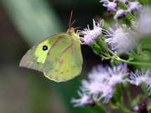 Southern Dogface Butterfly - Zerene cesonia Royalty Free Stock Images