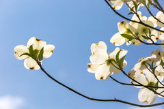 Southern dogwood trees in bloom Royalty Free Stock Photography