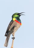 Southern Double-collared Sunbird Stock Photos