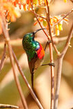 Southern Double-collared sunbird Cinnyris chalybeu Stock Photo