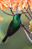 Southern Double-Collared Sunbird. Perched on an aloe bloom Royalty Free Stock Image