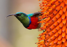 Southern Double-Collared Sunbird Royalty Free Stock Images