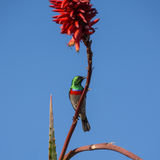 Southern Double-collared Sunbird Royalty Free Stock Photography